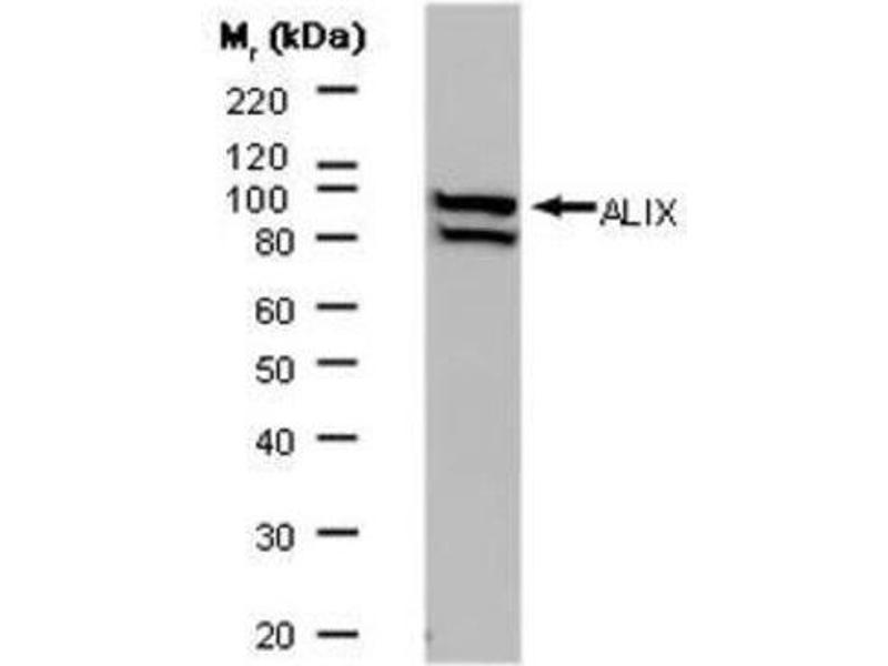 Western Blotting (WB) image for anti-PDCD6IP antibody (Programmed Cell Death 6 Interacting Protein) (ABIN260230)