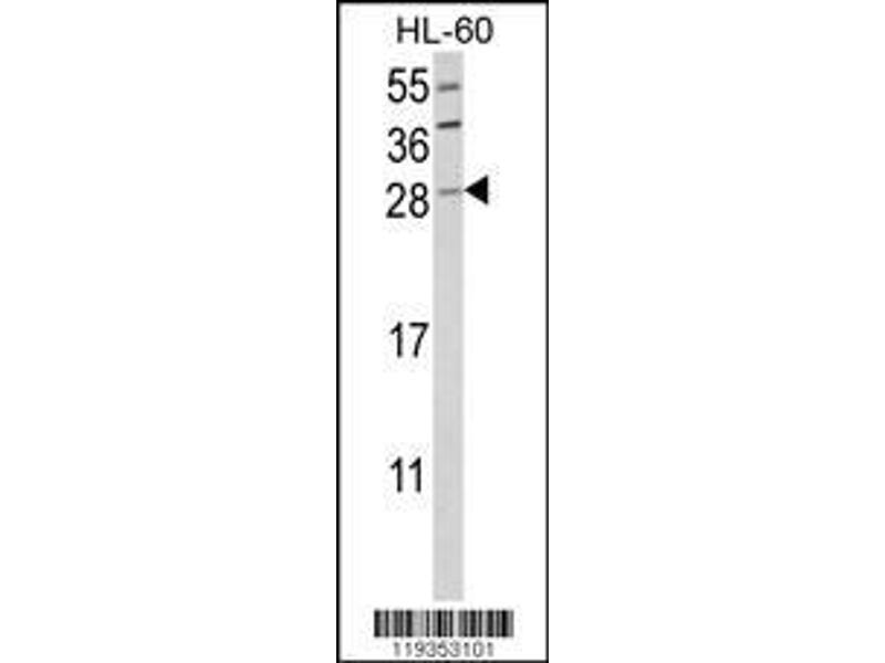 Western Blotting (WB) image for anti-Granzyme B (GZMB) (AA 175-203), (C-Term) antibody (ABIN390496)