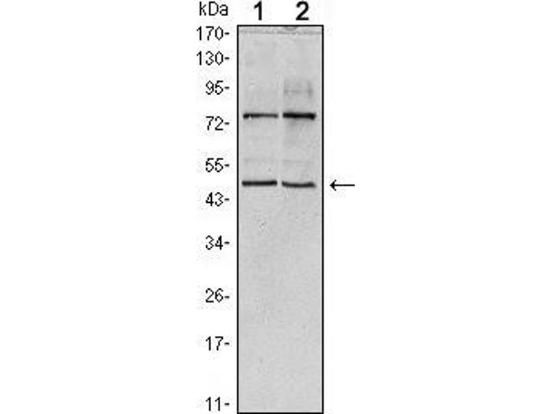 Western Blotting (WB) image for anti-THAP Domain Containing 11 (THAP11) antibody (ABIN969436)