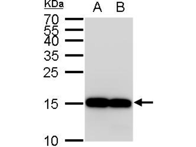 Western Blotting (WB) image for anti-Allograft Inflammatory Factor 1 (AIF1) (C-Term) antibody (ABIN2857032)