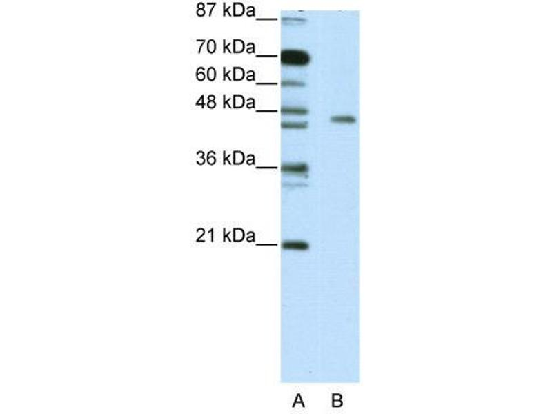 Western Blotting (WB) image for anti-MYC Induced Nuclear Antigen (MINA) (C-Term) antibody (ABIN183831)
