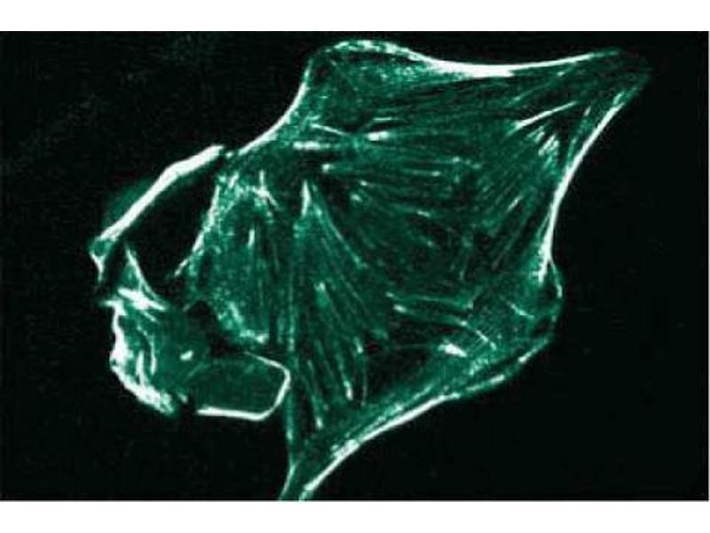 Immunofluorescence (IF) image for anti-Ron alpha (AA 40-224) antibody (ABIN968150)