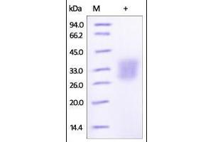 Image no. 1 for Angiopoietin-Like 3 (ANGPTL3) (AA 17-220) protein (His tag) (ABIN2180588)