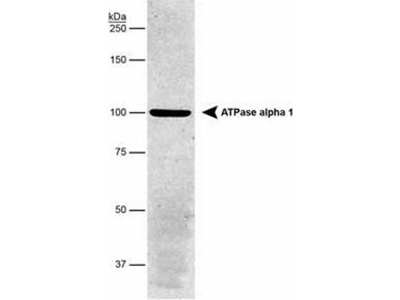 Western Blotting (WB) image for anti-ATP1A1 antibody (ATPase, Na+/K+ Transporting, alpha 1 Polypeptide) (ABIN152492)