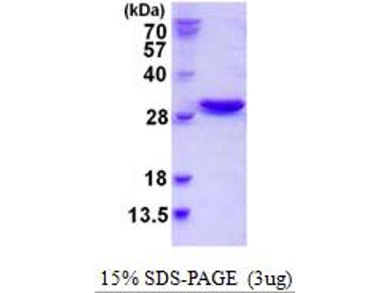 Image no. 1 for Nuclear Transport Factor 2-Like Export Factor 2 (NXT2) (AA 1-197) protein (His tag) (ABIN667694)