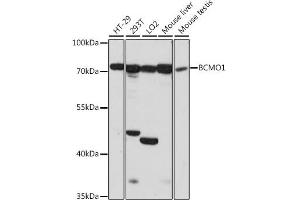 Image no. 1 for anti-beta-Carotene 15,15'-Monooxygenase 1 (BCMO1) antibody (ABIN6717415)