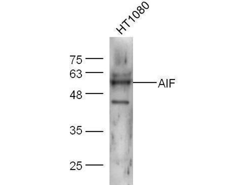 Western Blotting (WB) image for anti-Apoptosis-Inducing Factor, Mitochondrion-Associated, 1 (AIFM1) (AA 130-180) antibody (ABIN724010)