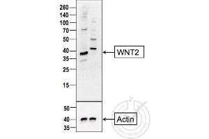 Western Blotting (WB) image for anti-WNT2 anticorps (Wingless-Type MMTV Integration Site Family Member 2) (AA 240-290) (ABIN762896)