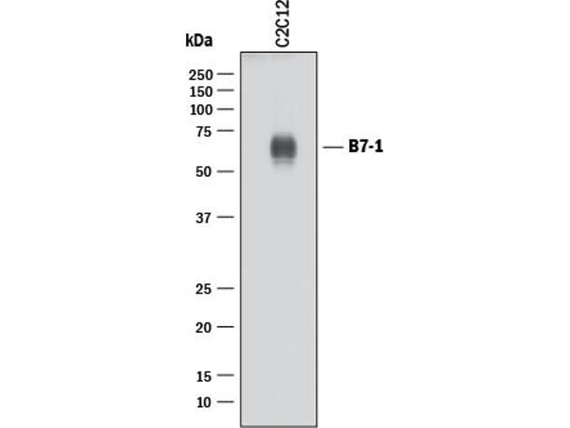 Western Blotting (WB) image for anti-CD80 (CD80) (AA 37-245) antibody (ABIN4900307)