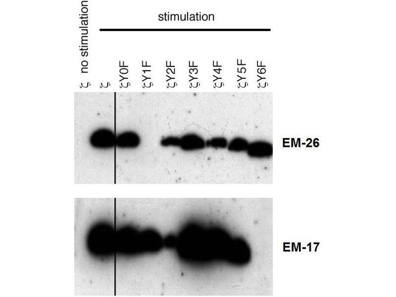 Western Blotting (WB) image for anti-CD247 antibody (CD247 Molecule) (pTyr72) (ABIN2749060)