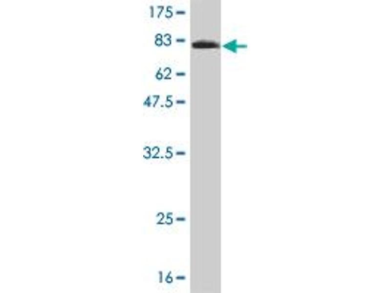 Image no. 4 for anti-5'-Nucleotidase, Cytosolic II (NT5C2) (AA 1-561) antibody (ABIN524900)