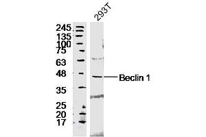 Image no. 5 for anti-Beclin 1, Autophagy Related (BECN1) (AA 240-280) antibody (ABIN675384)