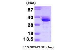 Image no. 1 for Annexin A3 (ANXA3) (AA 1-323) protein (ABIN935080)
