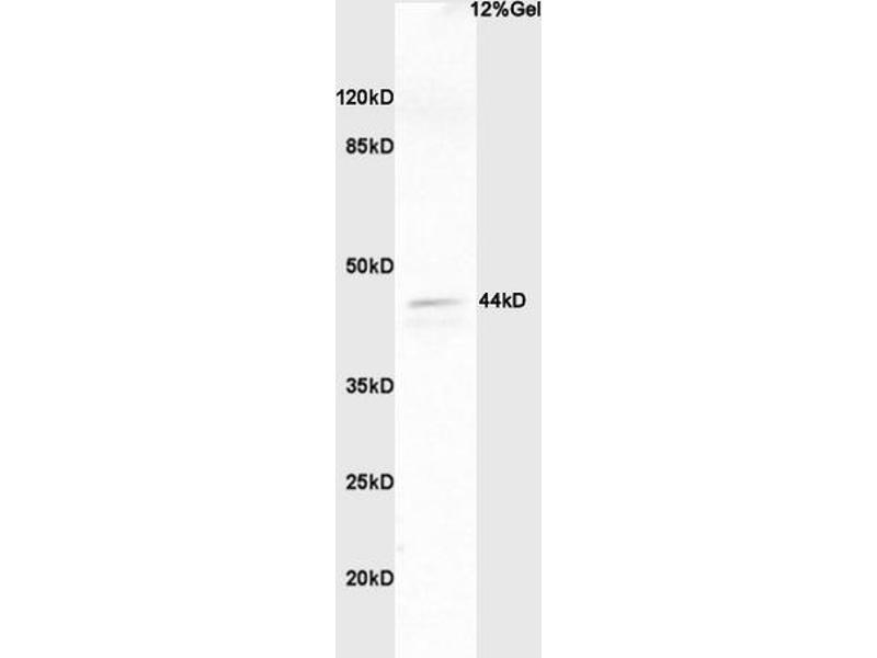 SDS-PAGE (SDS) image for anti-Mitogen-Activated Protein Kinase 1/3 (MAPK1/3) (AA 196-210), (pThr202), (pTyr204) antibody (ABIN682933)