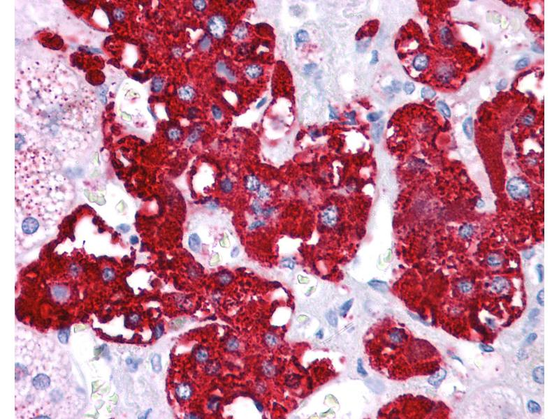 Immunohistochemistry (IHC) image for anti-Nuclear Receptor Subfamily 4, Group A, Member 2 (NR4A2) (N-Term) antibody (ABIN6745718)