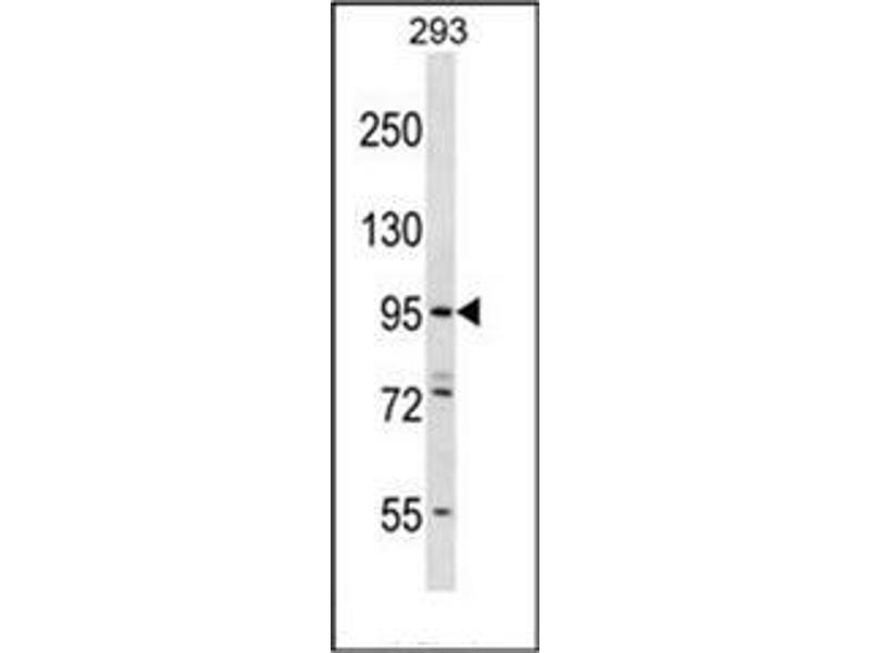 Western Blotting (WB) image for anti-Espin-Like (ESPNL) (AA 910-940), (C-Term) antibody (ABIN952120)