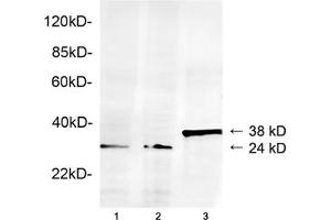 Image no. 1 for anti-Geminin, DNA Replication Inhibitor (GMNN) (AA 50-100) antibody (ABIN1574066)