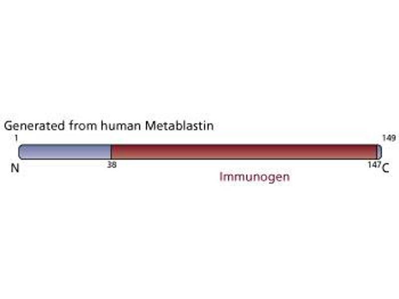 image for anti-Stathmin 1 antibody (STMN1) (AA 38-147) (ABIN968392)