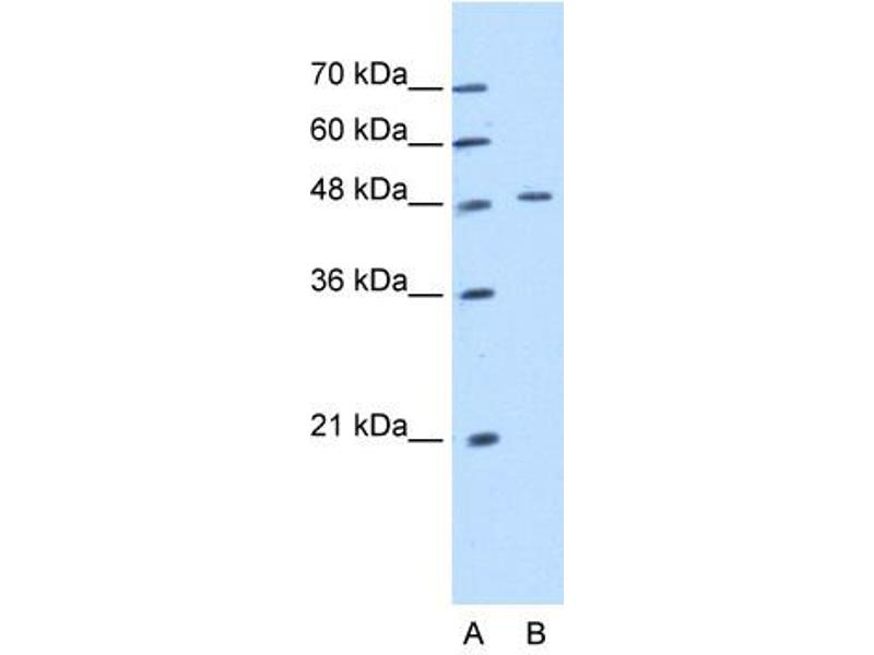 Western Blotting (WB) image for anti-Keratin 20 (KRT20) (Middle Region) antibody (ABIN310358)