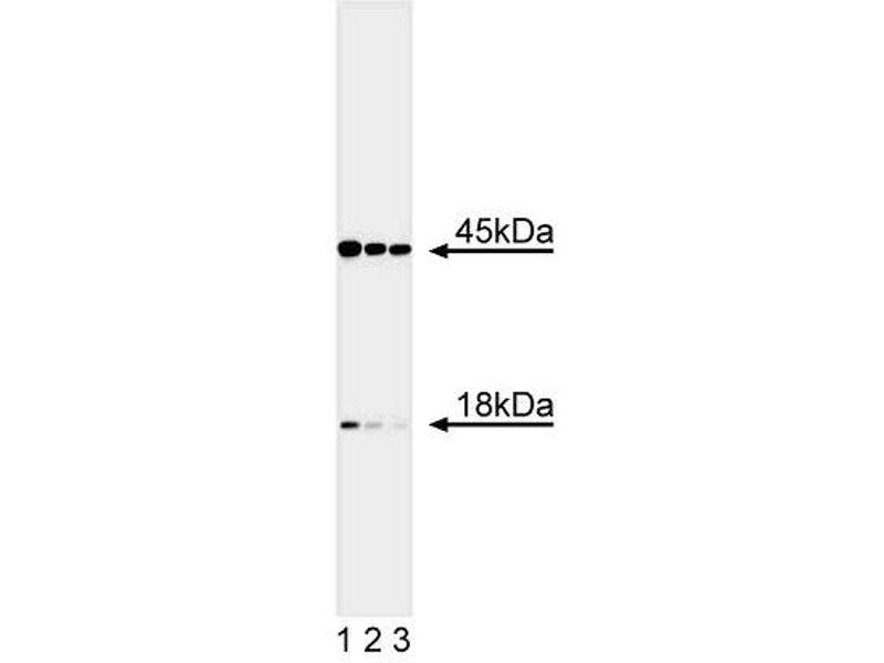 Western Blotting (WB) image for anti-DFFA antibody (DNA Fragmentation Factor, 45kDa, alpha Polypeptide) (AA 312-331) (ABIN967295)