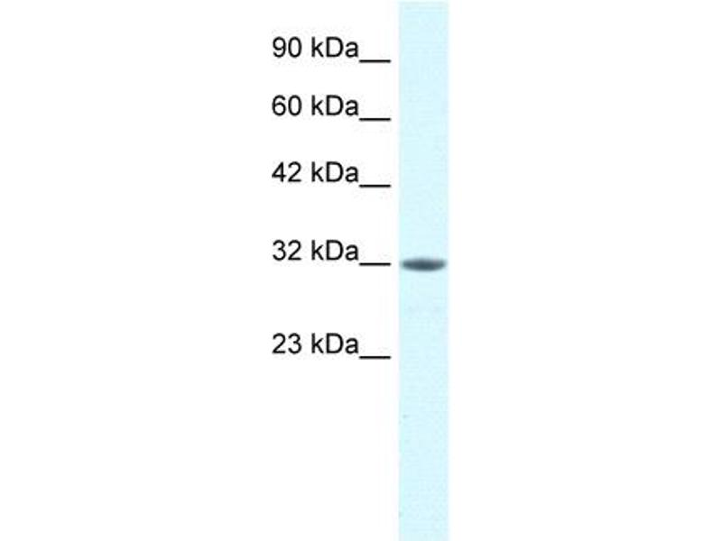 Western Blotting (WB) image for anti-Mortality Factor 4 Like 2 (MORF4L2) (N-Term) antibody (ABIN2778086)