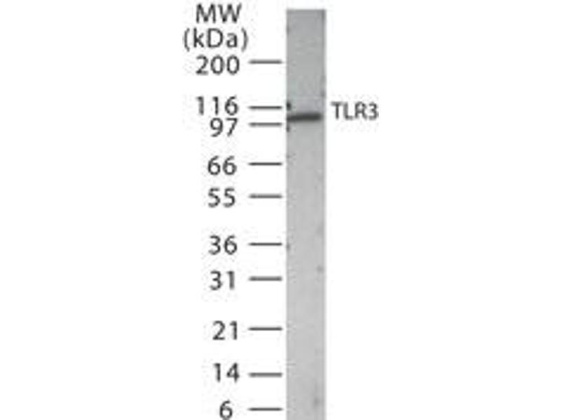 Western Blotting (WB) image for anti-Toll-Like Receptor 3 (TLR3) antibody (ABIN252527)