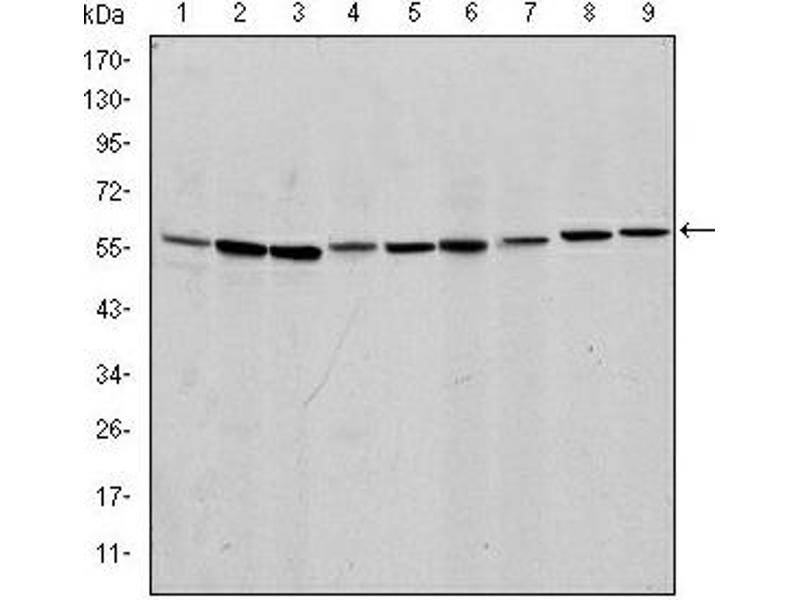 Image no. 6 for anti-Apoptosis-Inducing Factor, Mitochondrion-Associated, 1 (AIFM1) antibody (ABIN1105269)