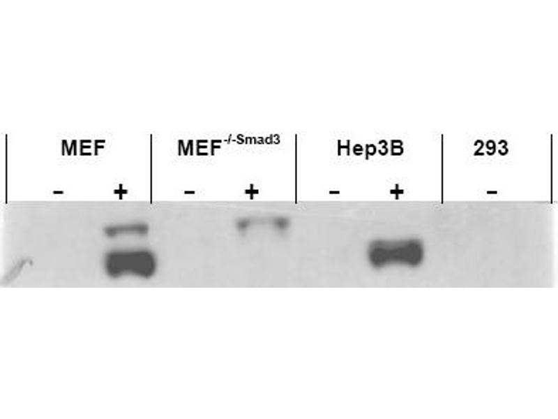 Image no. 1 for anti-SMAD3 antibody (SMAD, Mothers Against DPP Homolog 3) (AA 417-425) (ABIN401332)