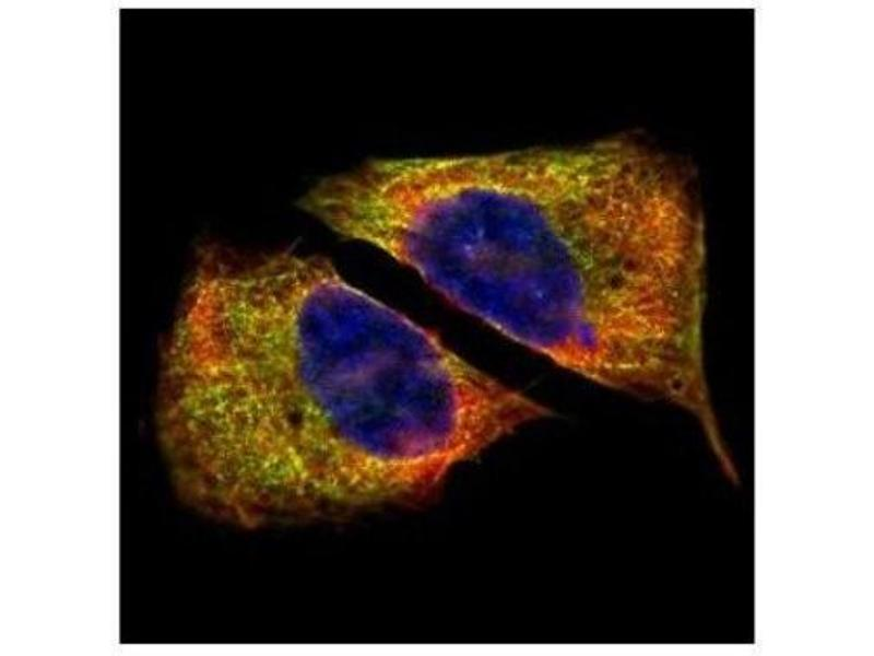 Immunofluorescence (IF) image for anti-TUBB5 antibody (Tubulin, Beta, 5) (ABIN442178)