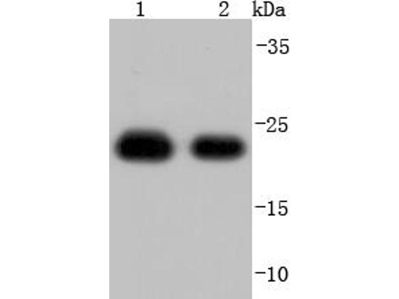 Western Blotting (WB) image for anti-Peroxiredoxin 1 (PRDX1) antibody (ABIN5557512)