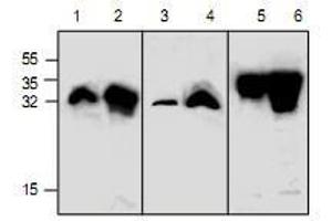 Western Blotting (WB) image for anti-Green Fluorescent Protein (GFP) antibody (ABIN223515)