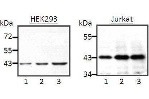 Western Blotting (WB) image for anti-MAPK3 antibody (Mitogen-Activated Protein Kinase 3) (full length) (ABIN2443856)