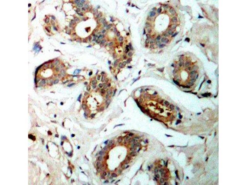 Immunohistochemistry (IHC) image for anti-tyrosine 3-Monooxygenase/tryptophan 5-Monooxygenase Activation Protein, zeta Polypeptide (YWHAZ) (pSer58) antibody (ABIN3019773)