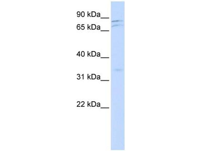 Western Blotting (WB) image for anti-NIMA (Never In Mitosis Gene A)-Related Kinase 11 (NEK11) (Middle Region) antibody (ABIN502997)