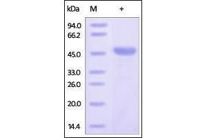 Image no. 1 for BCL2-Like 1 (BCL2L1) (AA 1-212) protein (GST tag) (ABIN2180640)