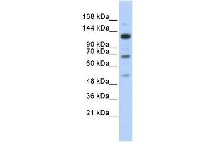 Image no. 1 for anti-Regulatory Factor X, 1 (Influences HLA Class II Expression) (RFX1) (Middle Region) antibody (ABIN2780454)