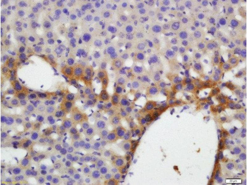 Immunohistochemistry (Paraffin-embedded Sections) (IHC (p)) image for anti-Thrombopoietin (THPO) (AA 45-95) antibody (ABIN1714401)