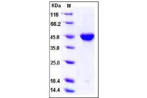 Image no. 1 for Platelet-Derived Growth Factor C (PDGFC) (AA 235-345), (Mature) (Active) protein (Fc Tag) (ABIN2002486)