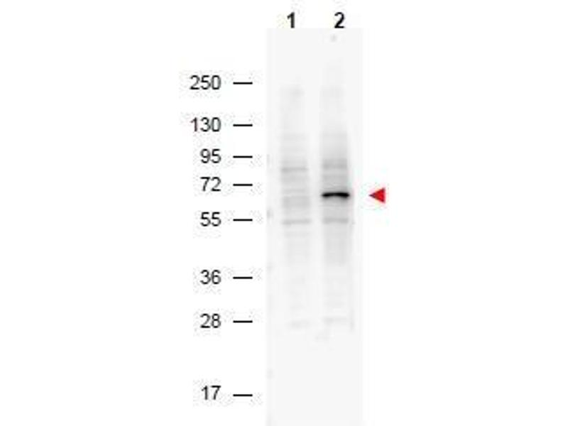 Western Blotting (WB) image for anti-Programmed Cell Death 4 (Neoplastic Transformation Inhibitor) (PDCD4) (pSer457) antibody (ABIN400798)