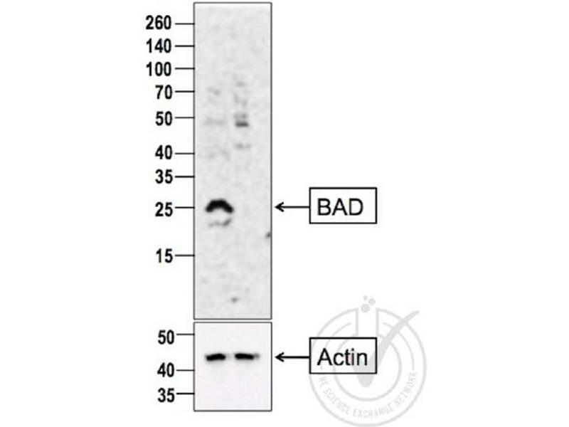 Western Blotting (WB) image for anti-BAD antibody (BCL2-Associated Agonist of Cell Death) (AA 140-168) (ABIN674709)