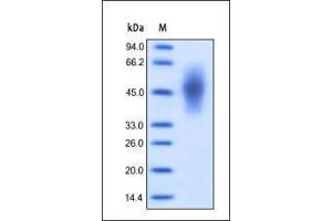 Image no. 1 for Carcinoembryonic Antigen-Related Cell Adhesion Molecule 6 (Non-Specific Cross Reacting Antigen) (CEACAM6) (AA 35-320) protein (His tag) (ABIN2180869)