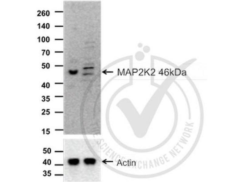 Western Blotting (WB) image for anti-MAP2K2 antibody (Mitogen-Activated Protein Kinase Kinase 2) (AA 1-50) (ABIN726500)