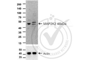 Western Blotting (WB) image for anti-Mitogen-Activated Protein Kinase Kinase 2 (MAP2K2) (AA 1-50) antibody (ABIN726500)