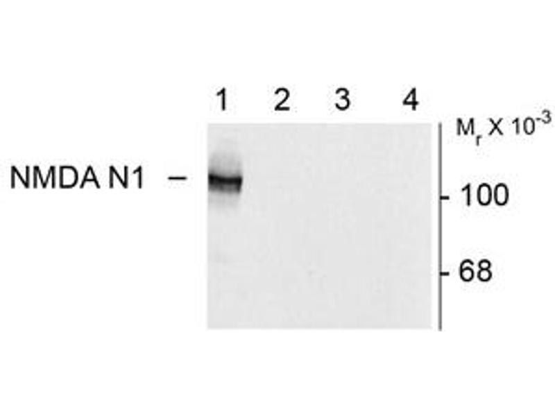 Image no. 2 for anti-Glutamate Receptor, Ionotropic, N-Methyl D-Aspartate 1 (GRIN1) (Variant N1) antibody (ABIN305686)