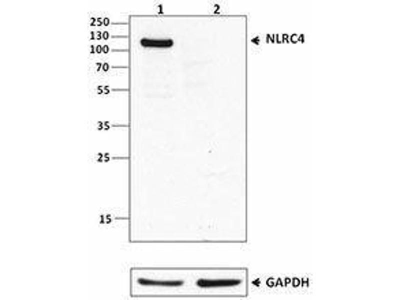 Western Blotting (WB) image for anti-NLR Family, CARD Domain Containing 4 (NLRC4) antibody (ABIN2665296)