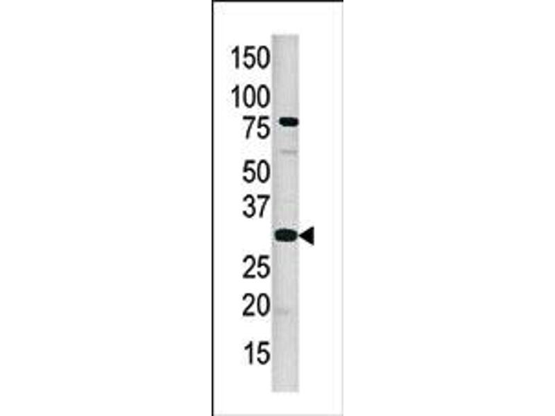 image for anti-CAMP Responsive Element Binding Protein 1 (CREB1) (pSer133) antibody (ABIN358113)