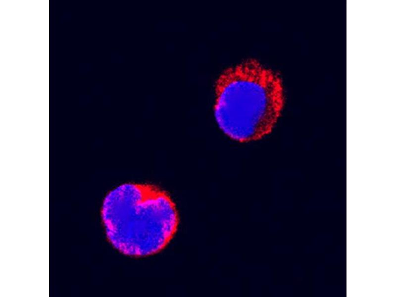Immunocytochemistry (ICC) image for anti-Fas (TNF Receptor Superfamily, Member 6) (FAS) (AA 25-172) antibody (Biotin) (ABIN4899874)