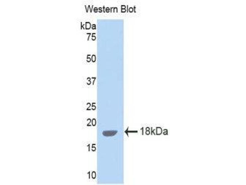 Western Blotting (WB) image for anti-Interleukin 15 (IL15) (AA 49-162) antibody (ABIN1859344)