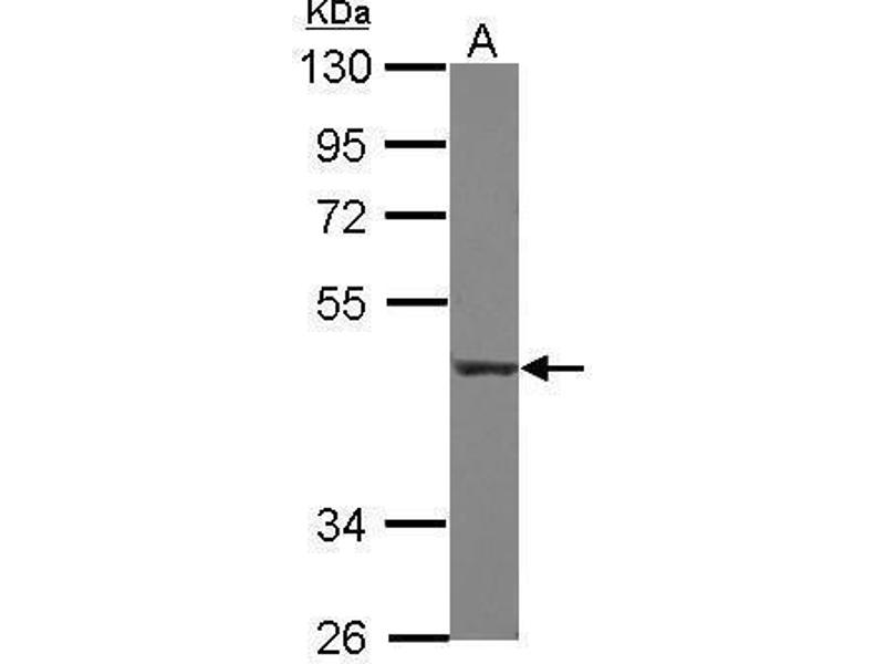 Western Blotting (WB) image for anti-CD55 antibody (Complement Decay-Accelerating Factor) (Center) (ABIN2855732)