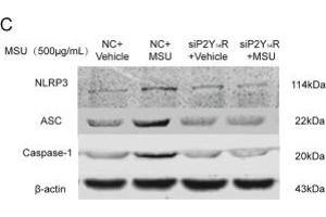 Image no. 13 for anti-NLR Family, Pyrin Domain Containing 3 (NLRP3) (AA 15-120) antibody (ABIN1386361)